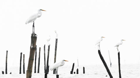 Great egrets parallax Animation