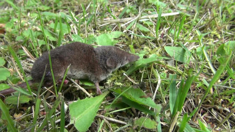 Common shrew in grass Footage