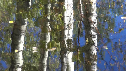 Reflections of birch tree trunks on pond Footage