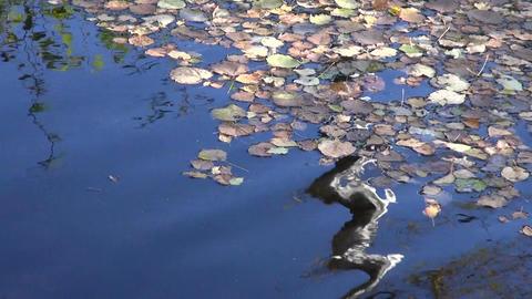 Fallen leaves on water Footage