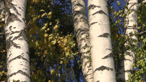 Birch tree trunks and leaves moving in wind Footage