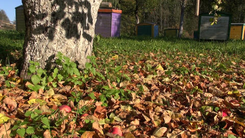 Red apples falling in orchard in autumn Footage