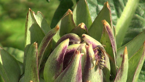 Wasp with ants on artichoke Footage