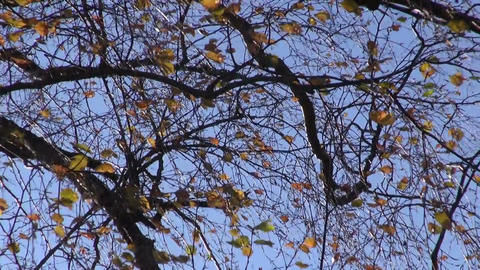 Autumn birch tree leaves moving in wind, nature background Footage