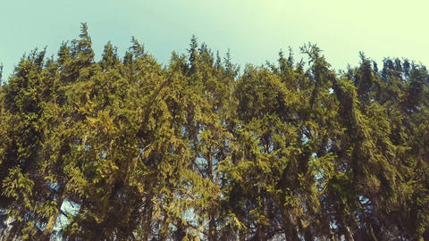 Tops Of The Trees In The Forest Footage