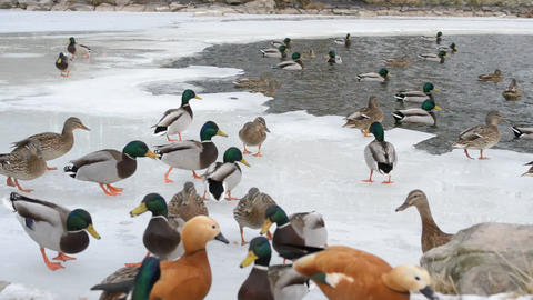 Ducks take wing on frozen pond Filmmaterial
