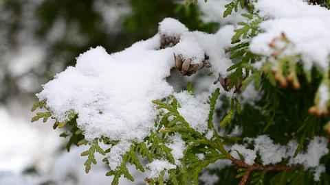 Snow falls on thuja branch Footage