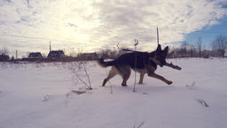 Slow Motion Of German Shepherd Dog Running Through Snow. Steadicam Archivo