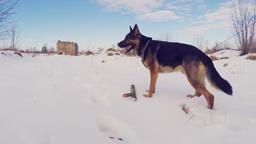 Slow Motion Of German Shepherd Dog Running Through Snow. Steadicam Footage