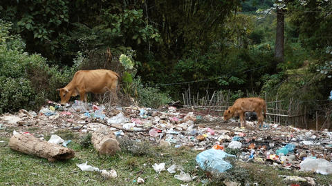 Thin cows grazing in the trash Footage