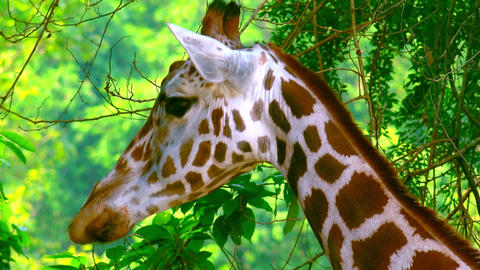 African giraffe in natural environment Footage