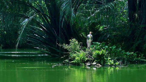 Painted stork resting among ferns and trees at tranquil green pond Live Action