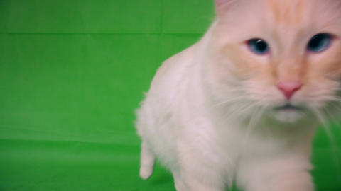Ragdoll is a white and fluffy cat. Goes to you. Green background Live Action