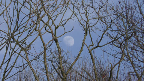 Full moon in the sky. Moon among the branches of trees. Daytime Footage