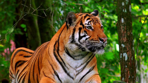 Asian or Bengal tiger lying on ground among tree trunks and thicket of bushes Footage