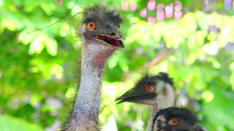 Two ostriches standing against green foliage illuminated by sun Footage
