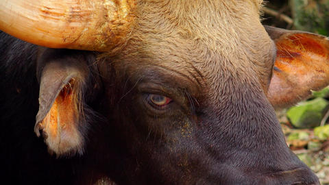 Close-up of Indian Gaur's head. Highly detailed picture of exotic bison looking Footage