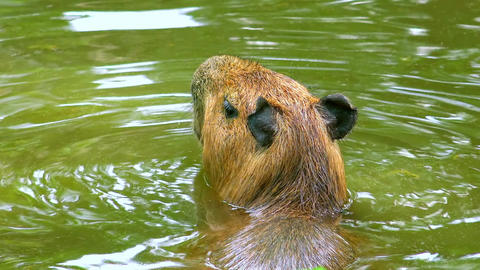 Capybara swims sticking out its head above surface of pond Footage