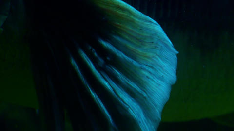 Close-up of Giant Snakehead's pectoral fin (Channa micropeltes) flapping in dark Footage