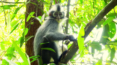 Sumatran endemic Thomas Leaf langur monkey in tropical rainforest relaxing Live Action