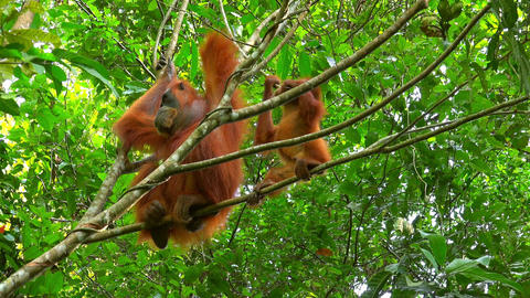 Orangutan female and cute baby in tropical rainforest relaxing on tree. Sumatra Live Action