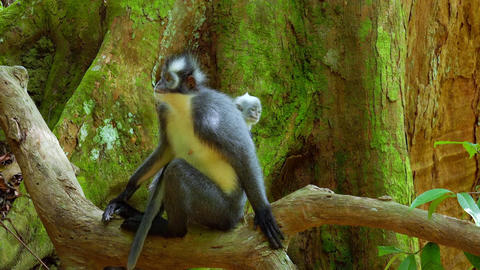 Sumatran endemic Thomas Leaf langur monkey and cute baby in tropical rainforest Footage