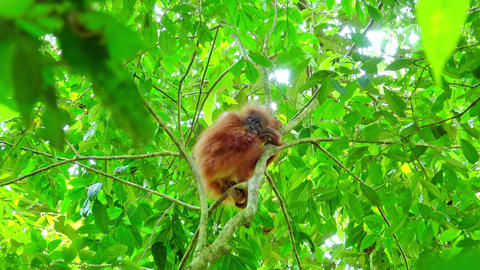 Baby orangutan sits on tree grasping branch and looks around Footage