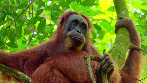 Female orangutan sitting on tree and looking around against green foliage Footage