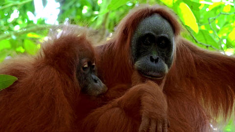 Portrait of orangutan female and cute baby monkey breast feeding Footage