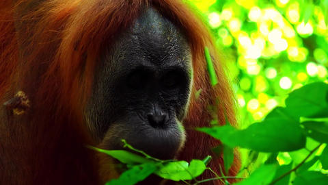 Female orangutan sitting on tree, plucking and eating green leaves Footage