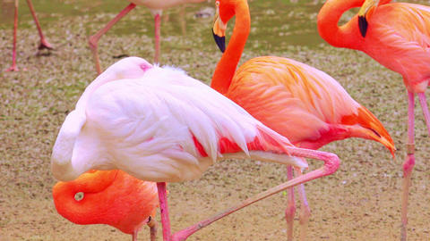 Flock of pink and white flamingos resting near freshwater pond Footage