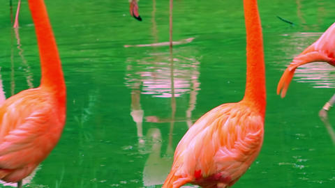 Beautiful pink flamingos passing by camera and reflecting on surface of pond Footage