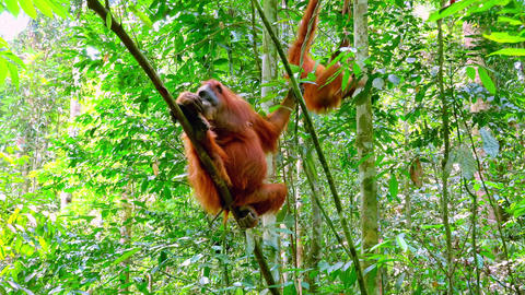 Mother and baby orangutans hanging on leaning tree trunks and branches Footage