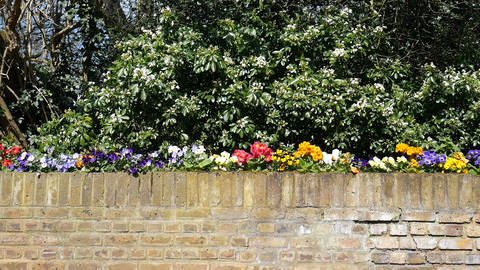 Spring. Beautiful flowers on a brick fence Footage