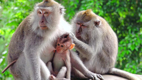 Group of Balinese long-tailed adult and baby macaques sitting together Footage