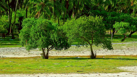 Guava trees swaying in wind against palm grove on background. Sri Lanka Footage