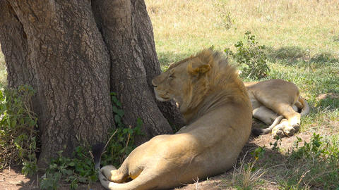 African lions. Safari - journey through the African Savannah. Tanzania Live Action