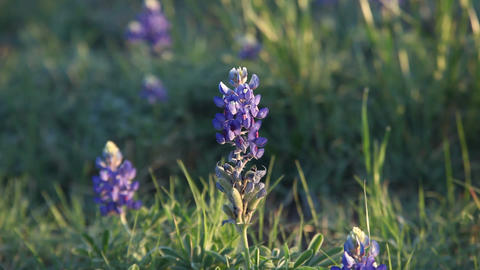 Close up of Bluebonnets with sun from the right Footage