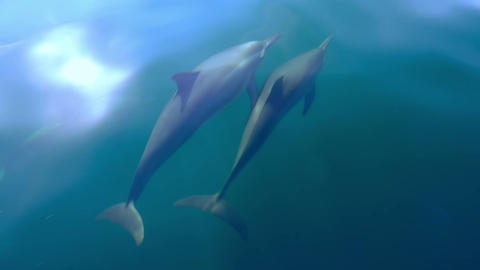 Funny Spinner Dolphins move through sea water playing and make flips in water Footage