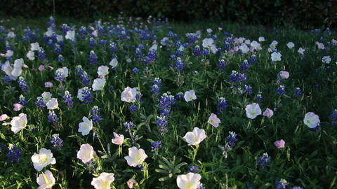 Field of Bluebonnets and Primrose flowers Footage