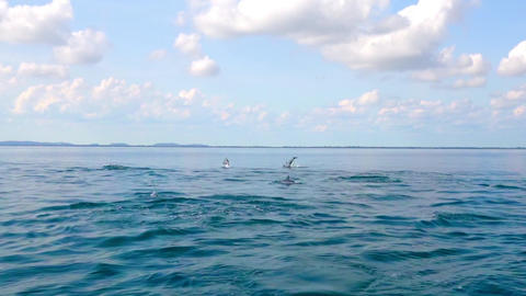 Big group of porpoising Spinner Dolphins. Gorgeous marine mammals swimming Live Action