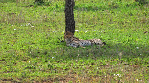 A pair of cheetahs. Safari - journey through the African Savannah. Tanzania Footage