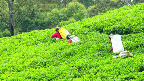 Women plucking tea trees growing on highland plantation. Sri Lanka Footage