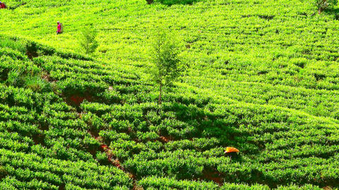 Farmers picking tea leaves among trees growing on hillside. Sri Lanka Footage