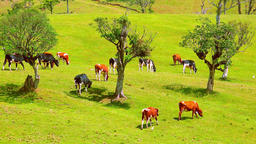Herd of cattle nipping grass on field with few trees under sunshine Footage