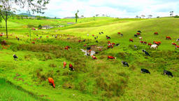 Large pasture with numerous cows eating grass and drinking water. Sri Lanka Footage