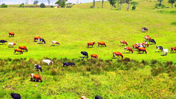 Large herd of beautiful cows eating grass in field of organic ecological farm Footage