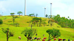 Cows grazing in downward sloping pasture against wind turbines. Free range farm Footage