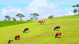 Tropical scenery with pretty free range cows chewing plants. Ecological farming Footage