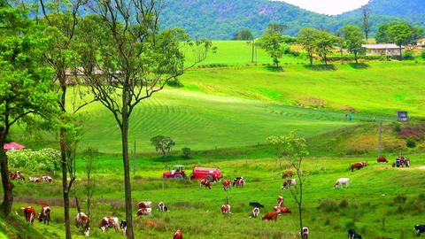 Gorgeous pastoral scene with cows grazing in green meadow. Ecology food farm Footage